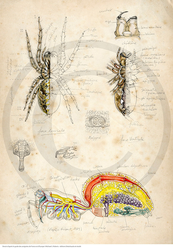 Marcello-art: Entomology 83 - Spider anatomy