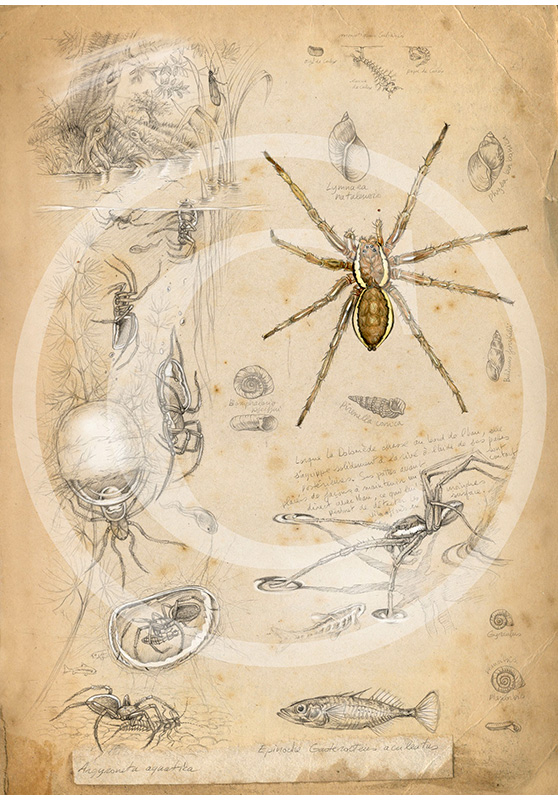 Marcello-art: Entomology 88 - Argyroneta and Dolomede