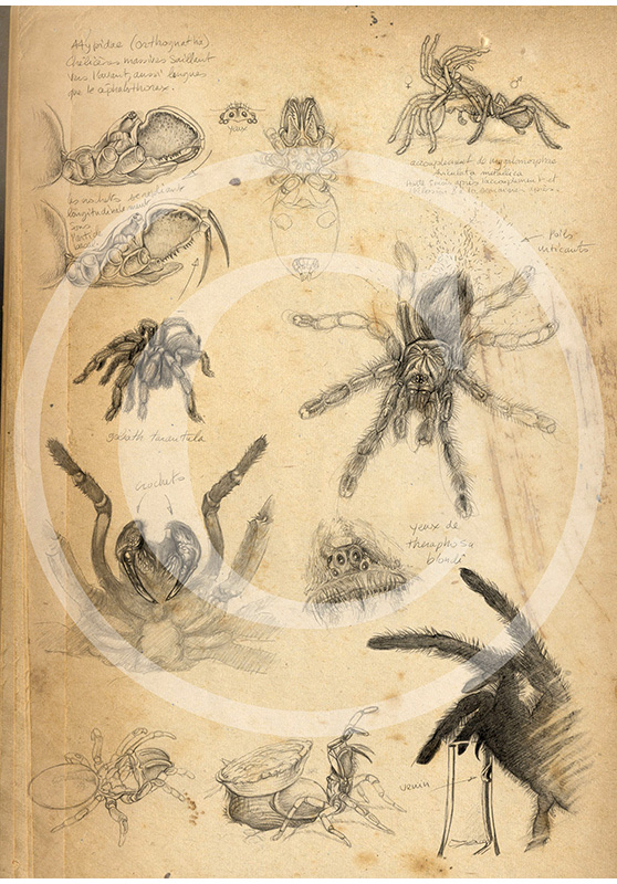 Marcello-art: Entomology 90 - Tarantulas