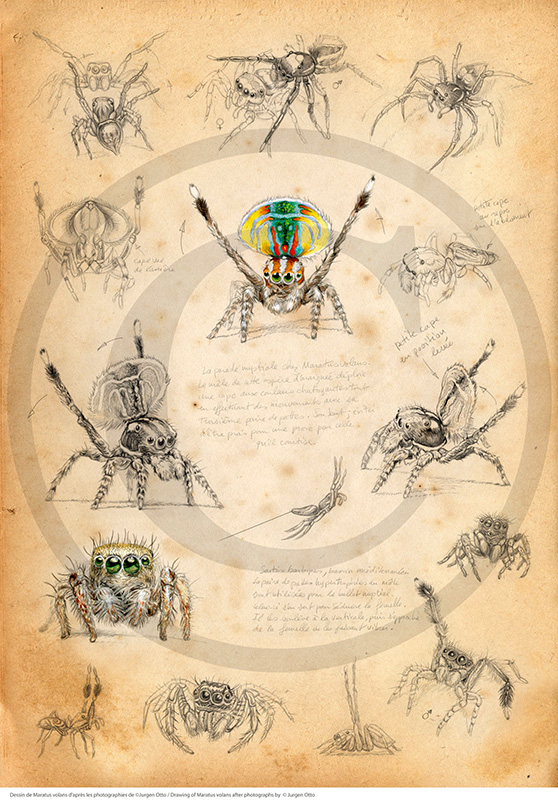 Marcello-art: Entomology 91 - Salticides