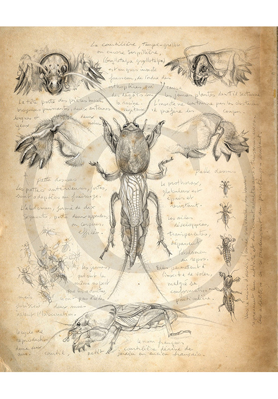 Marcello-art: Entomology 183 - Mole cricket