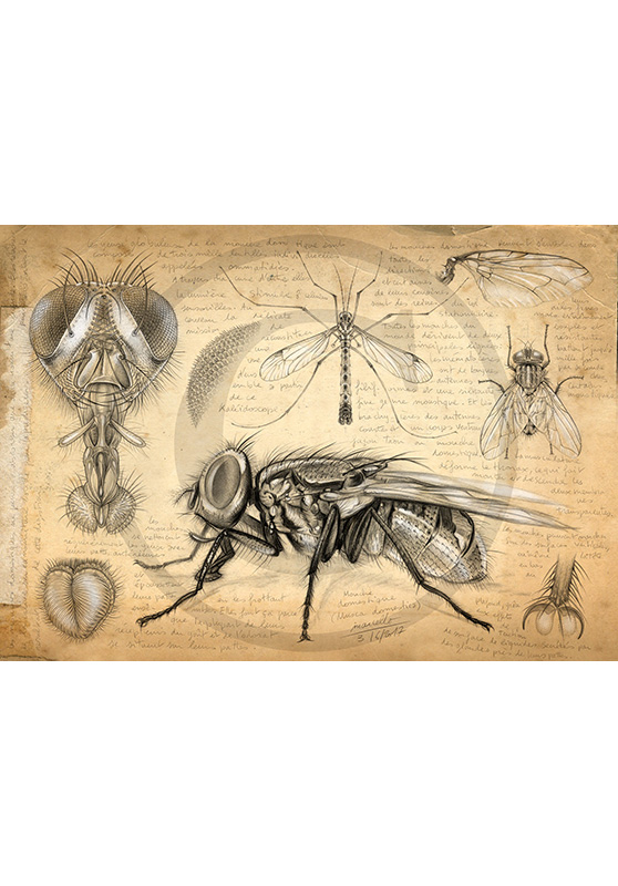 Marcello-art: Entomology 367 - Fly Anatomy