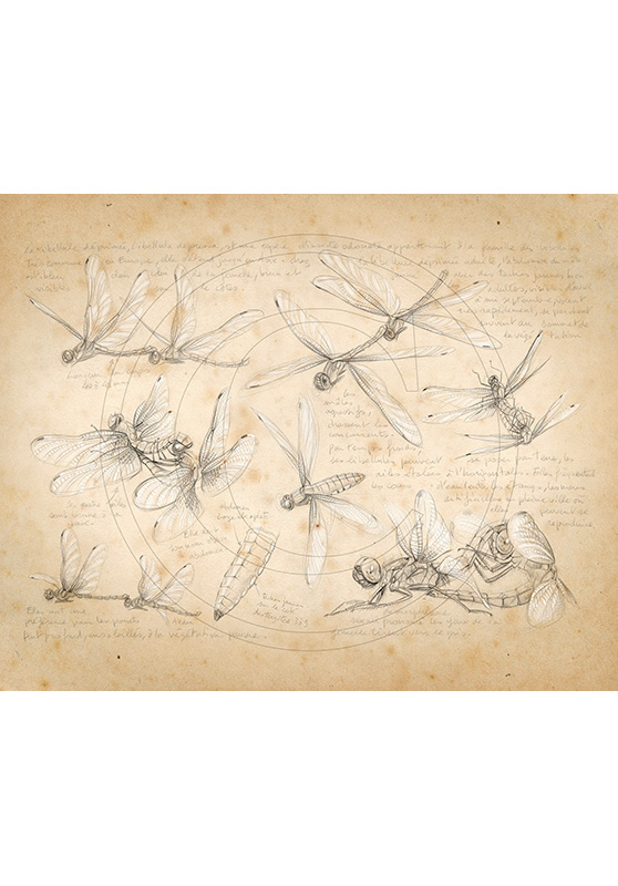 Marcello-art: Entomology 368 - Libellula depressa