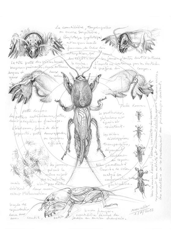Marcello-art: Entomology 183 - Mole cricket