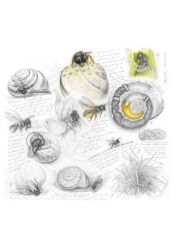 Marcello-art : Entomologie 254 - Osmie bicolore
