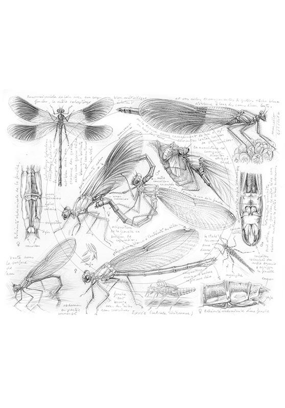 Marcello-art: Entomology 255 - Calopteryx slendens