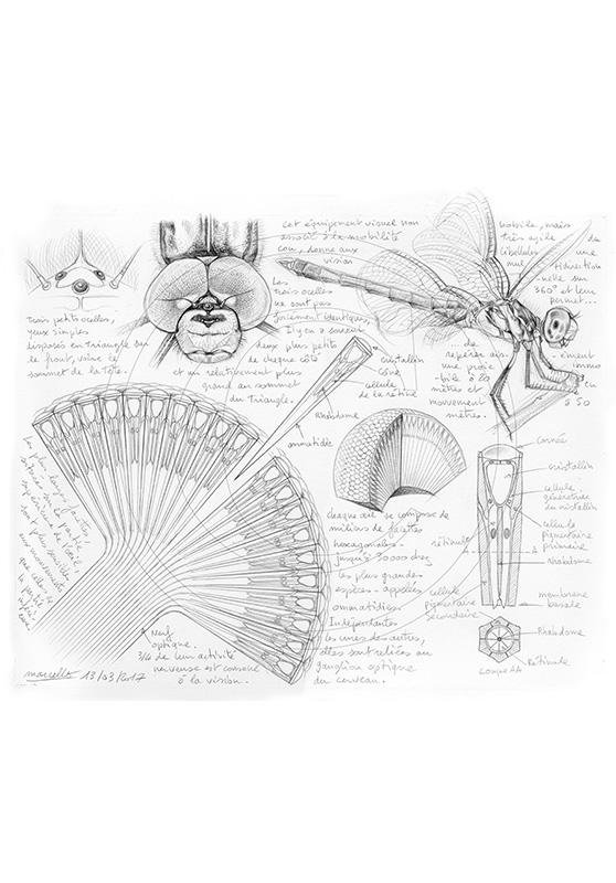 Marcello-art : Entomologie 364 - Oeil de libellule