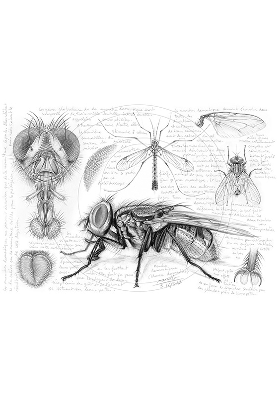 Marcello-art : Entomologie 367 - Anatomie mouche