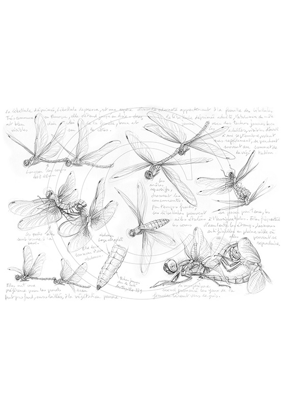 Marcello-art : Entomologie 368 - Libellula depressa