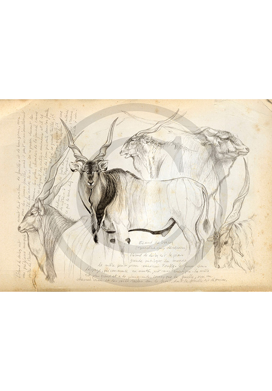 Marcello-art: Prints on canvas 2 - Giant eland