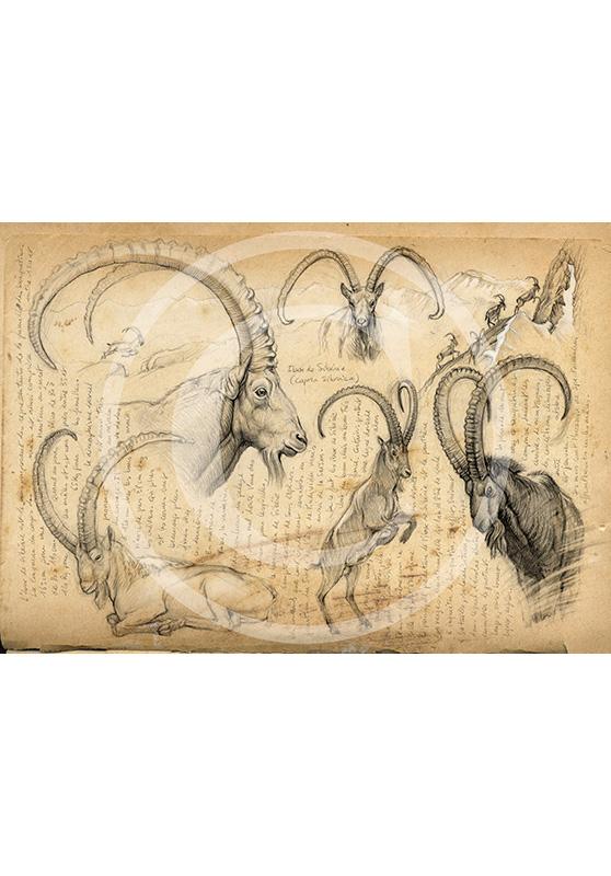 Marcello-art: Prints on canvas 55 - Siberian Ibex