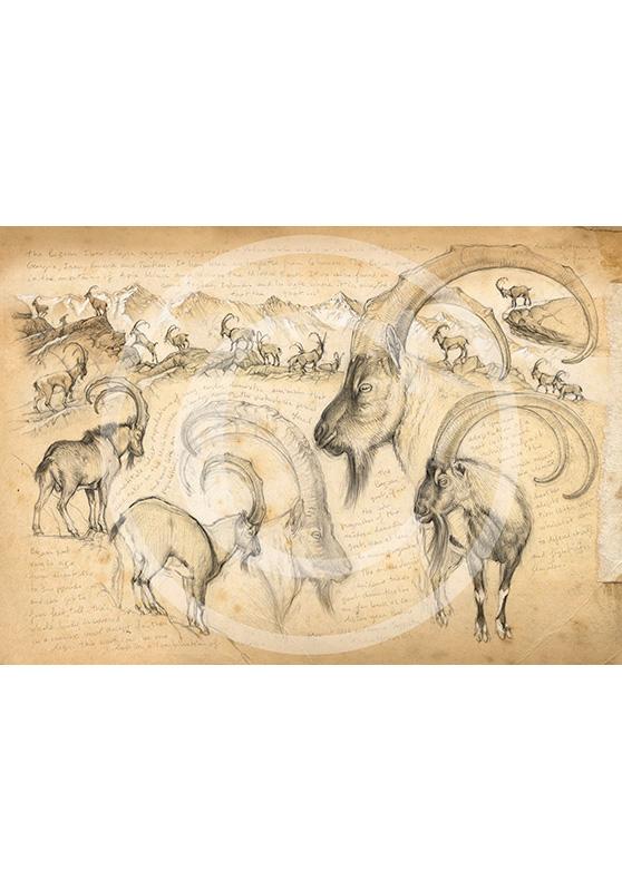 Marcello-art : Épreuves Sur toile 189 - Ibex bézoard