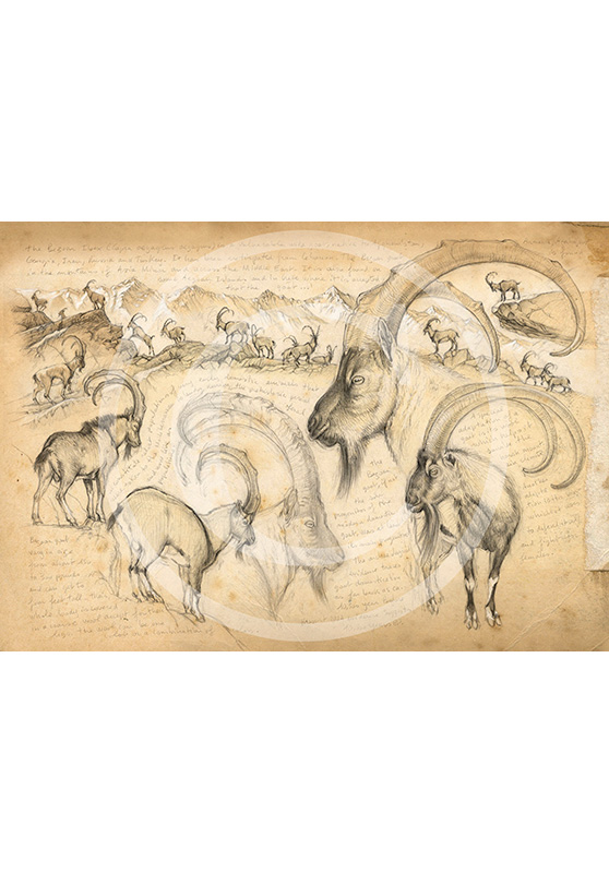 Marcello-art: Prints on canvas 189 - Bezoard Ibex