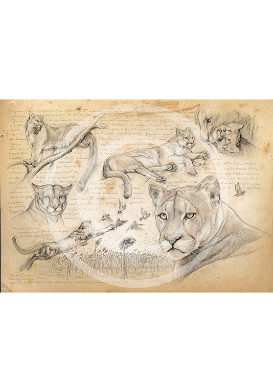 Marcello-art: Prints on canvas 241 - Mountain lion