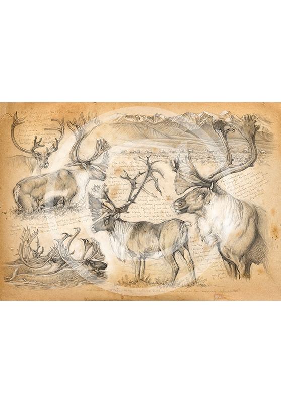 Marcello-art : Épreuves Sur toile 190 - Caribou des montagnes