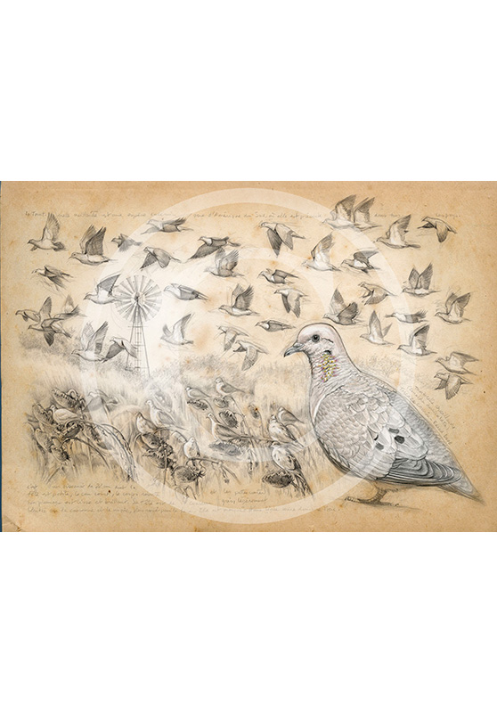 Marcello-art: Prints on canvas 231 - Eared Dove