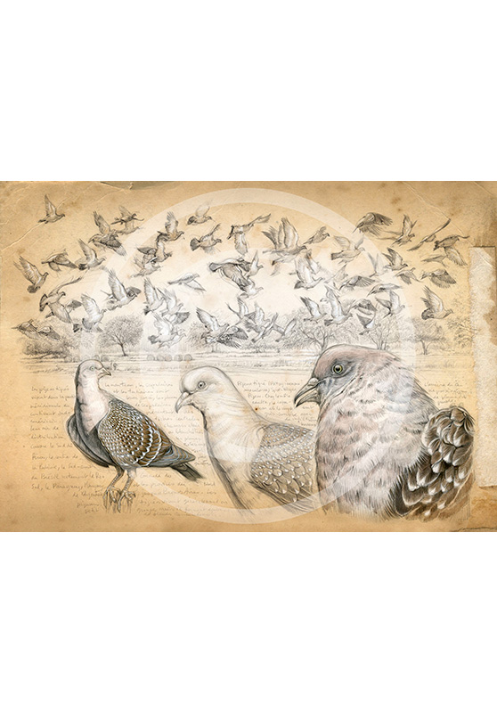Marcello-art : Épreuves Sur toile 232 - Pigeon tigré