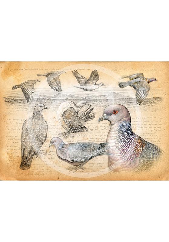 Marcello-art : Épreuves Sur toile 233 - Pigeon picazuro