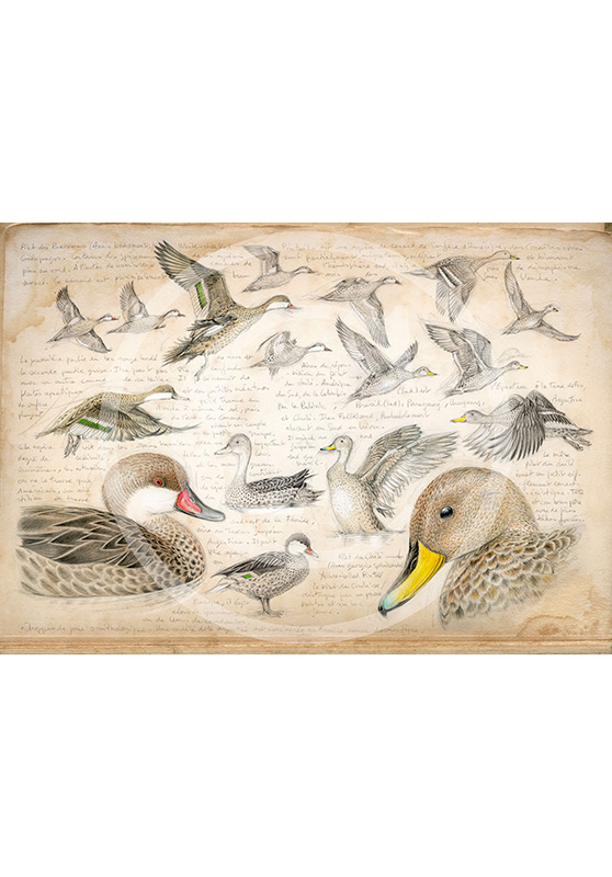 Marcello-art: Prints on canvas 234 - White-cheeked pintail & Yellow-billed Pintail