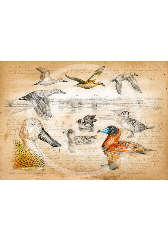 Marcello-art: Prints on canvas 235 - Masked Duck
