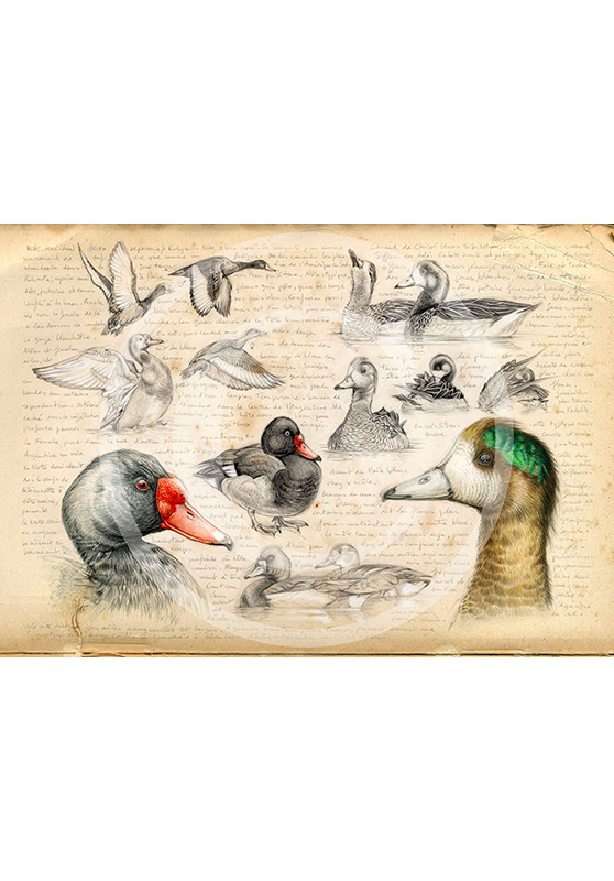 Marcello-art: Prints on canvas 236 - Chiloé Wigeon & Rosy-billed Pochard