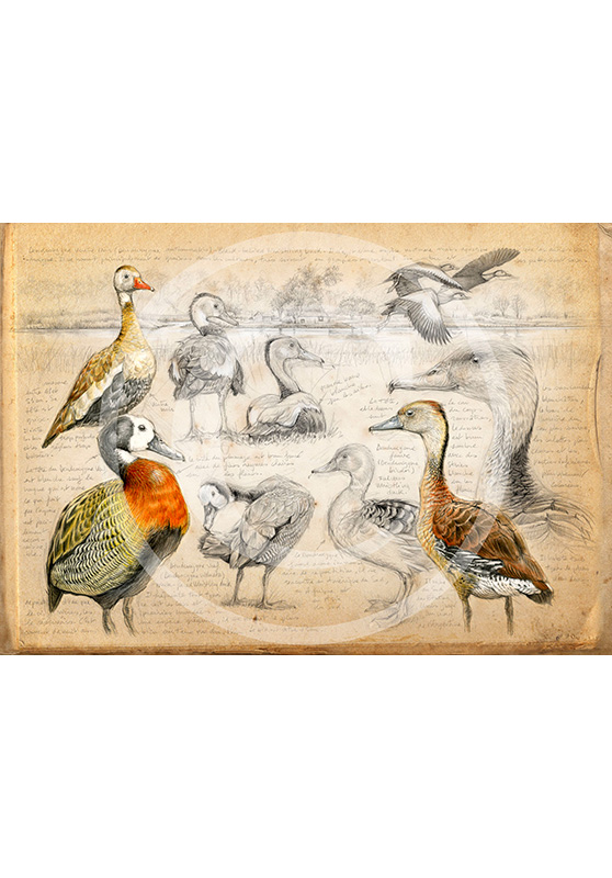 Marcello-art: Prints on canvas 237 - Whistling Duck