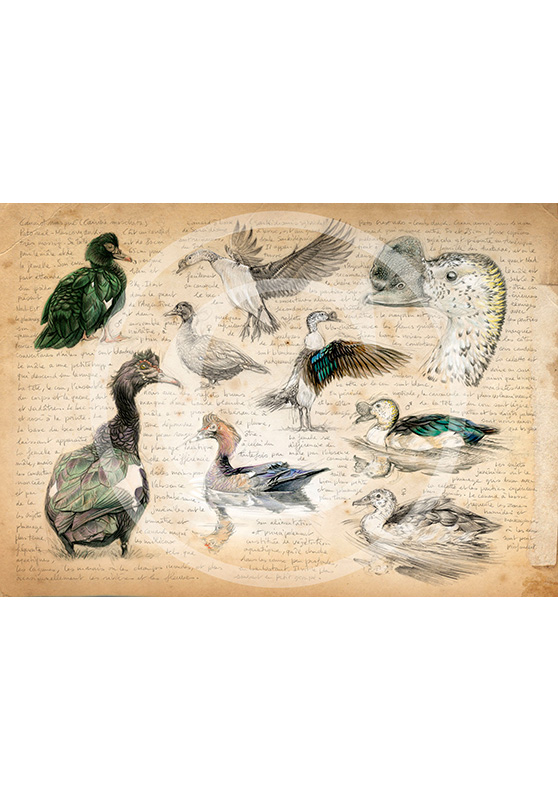 Marcello-art: Prints on canvas 238 - Muscovy Duck & Knob-billed Duck