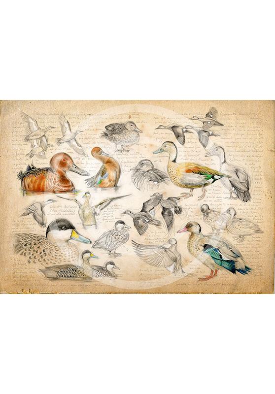 Marcello-art : Épreuves Sur toile 239 - Sarcelles cannelle, du Brésil, tachetée et versicolor