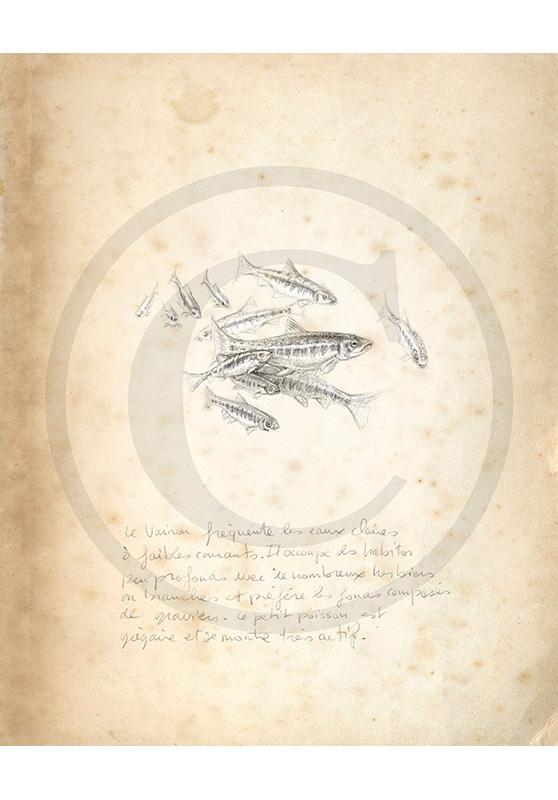 Marcello-art : Faune aquatique 45 - Vairons