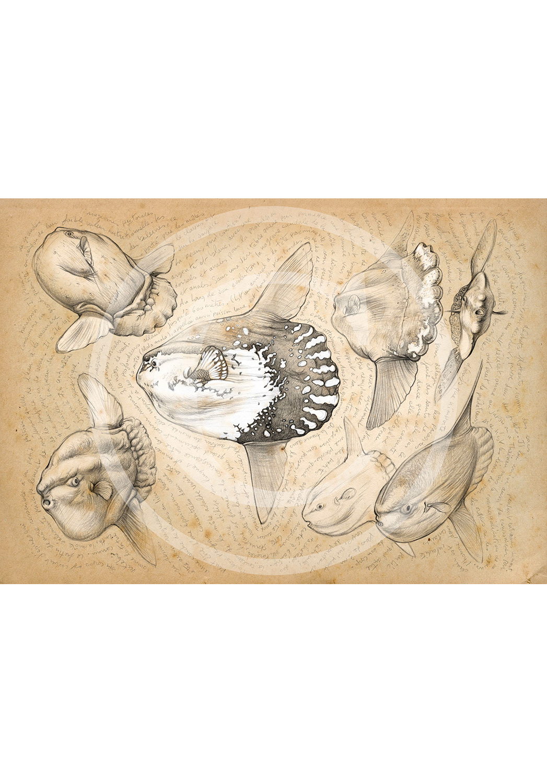 Marcello-art: Aquatic fauna 112 - Sunfish