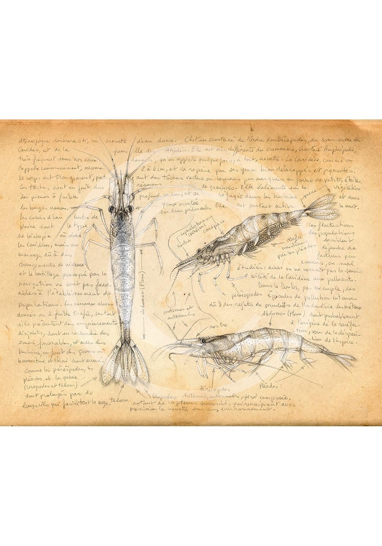 Marcello-art: Aquatic fauna 220 - Freshwater shrimp