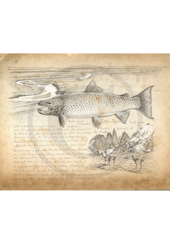 Marcello-art: Aquatic fauna 243 - Sea trout
