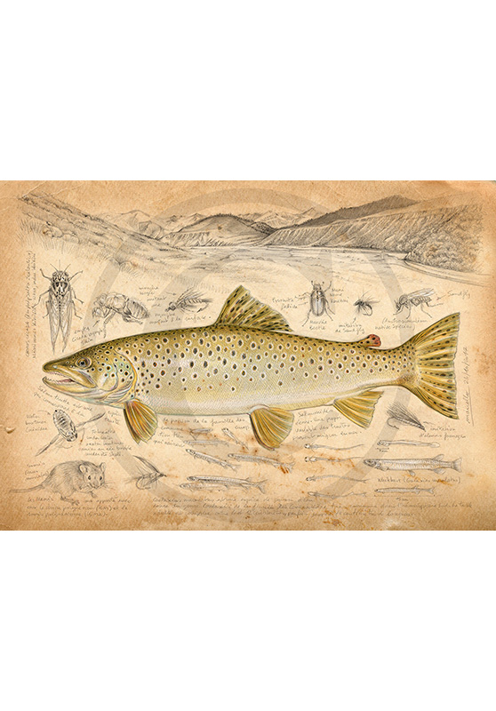 Marcello-art: Aquatic fauna 372 - New Zealand Trout Fario