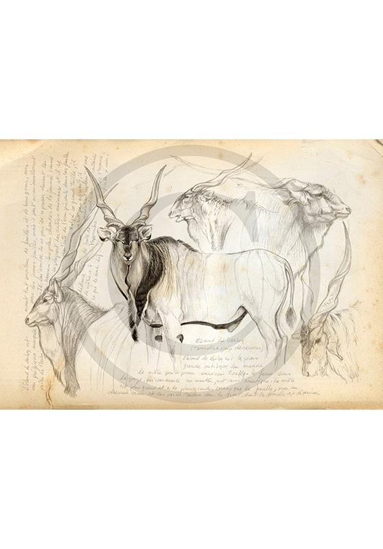 Marcello-art: African Wildlife 02 - Giant eland / Kaga-hélé 1