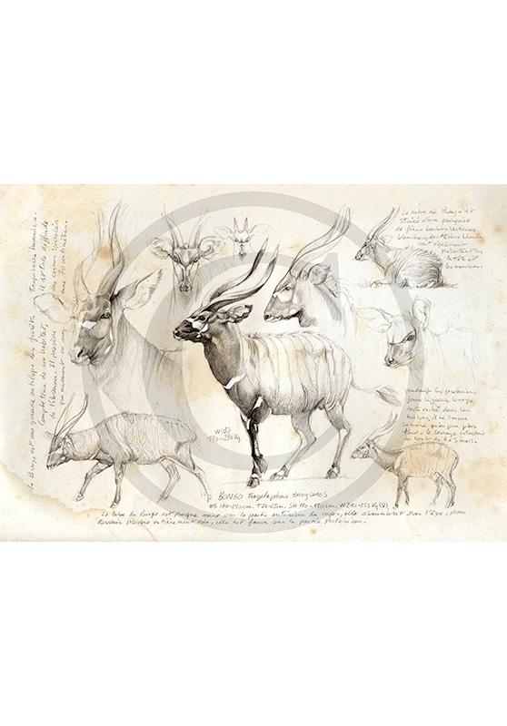 Marcello-art: African Wildlife 03 - Bongo / Kaga-hélé 1