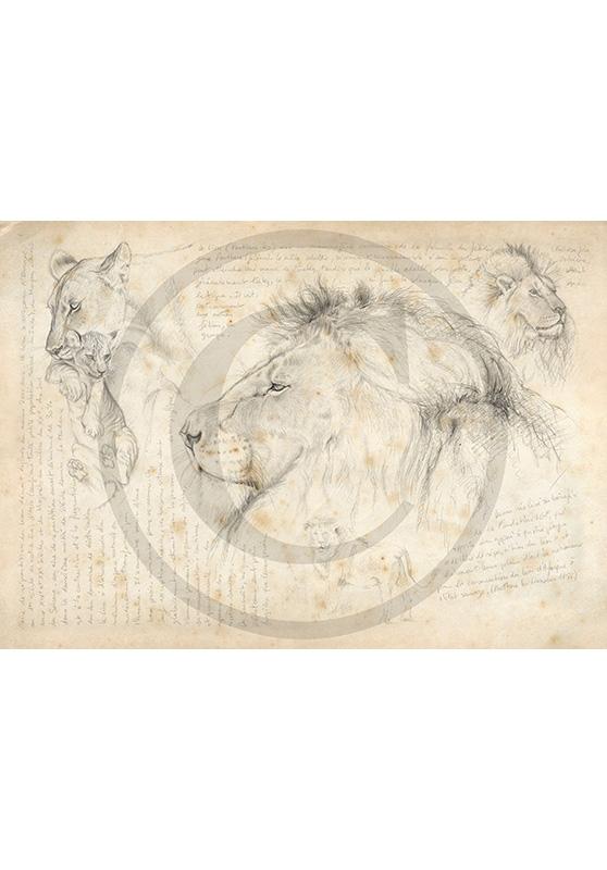 Marcello-art : Faune africaine 05 - Lion / Kaga-hélé