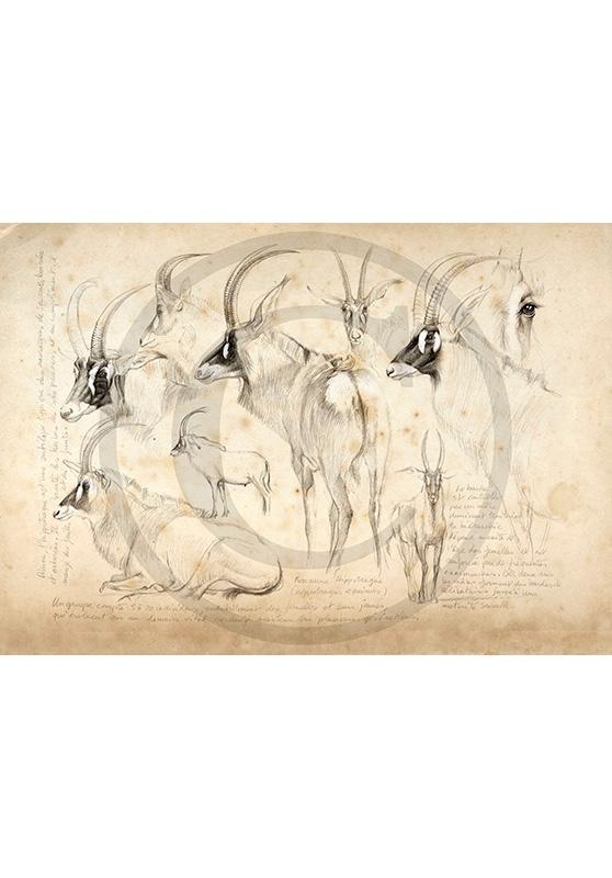 Marcello-art: African Wildlife 08 - Roan antelope / Kaga-hélé