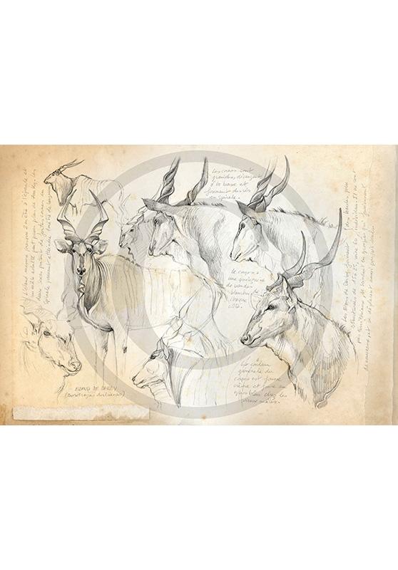 Marcello-art: African Wildlife 20 - Giant eland 2