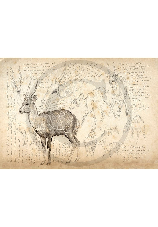 Marcello-art: African Wildlife 22 - Bushbuck