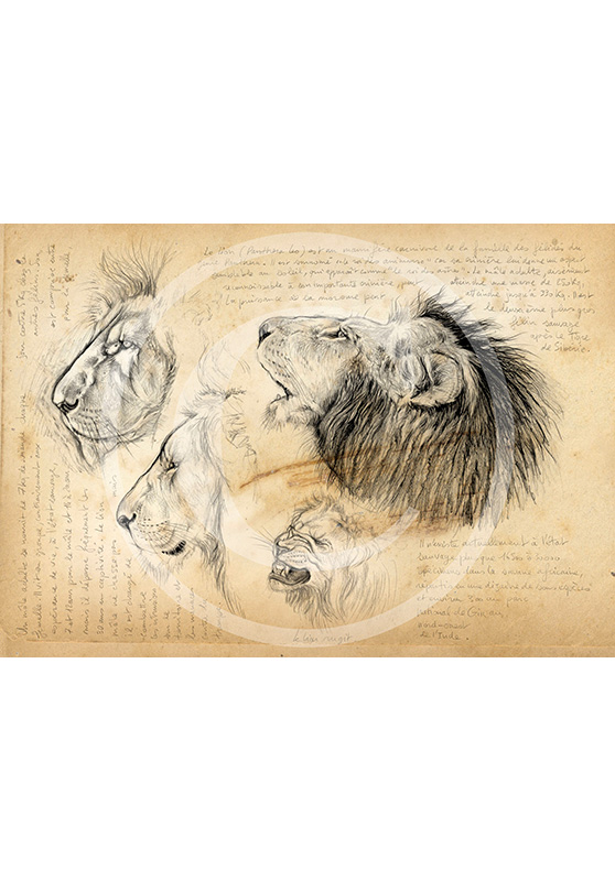 Marcello-art: African Wildlife 56 - Male lion