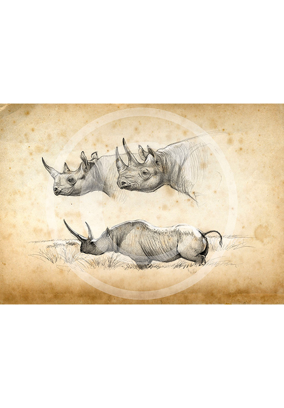 Marcello-art: African Wildlife 179 - Black rhino 01