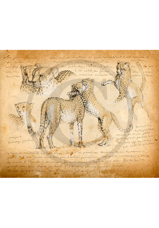 Marcello-art: African Wildlife 186 - Cheatah 3