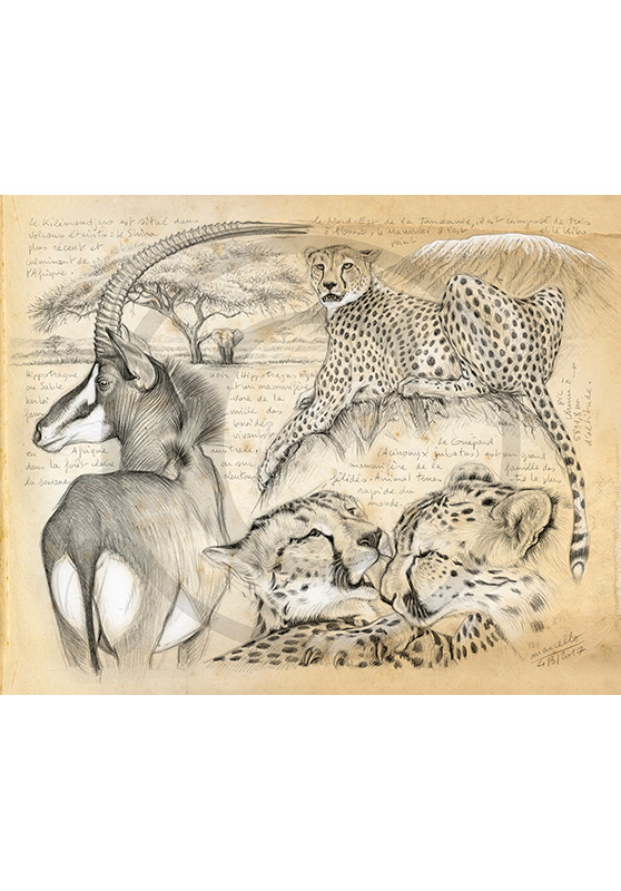 Marcello-art : Faune africaine 363 - Guépards et antilope sable