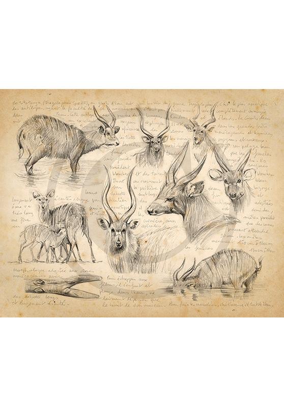 Marcello-art: African Wildlife 379 - Sitatunga