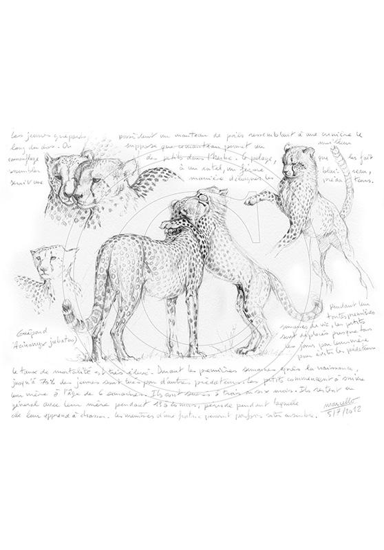Marcello-art : Faune Africaine 186 - Guépard 3