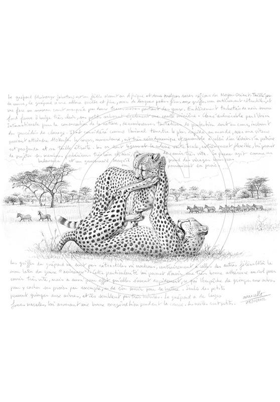 Marcello-art : Faune Africaine 210 - Guépard 6