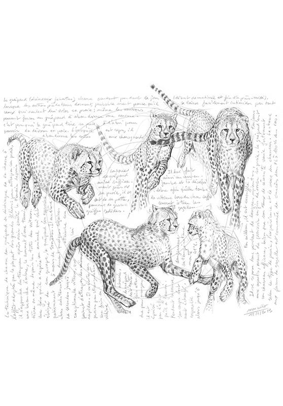 Marcello-art : Faune Africaine 221 - Guépard 11