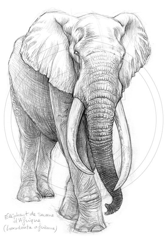 Marcello-art : Faune Africaine 213 - Éléphant