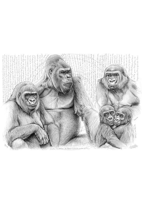 Marcello-art : Faune Africaine 214 - Gorilles des plaines de l'ouest