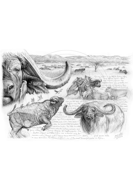Marcello-art : Faune Africaine 244 - H&H Big Five Buffle du Cap